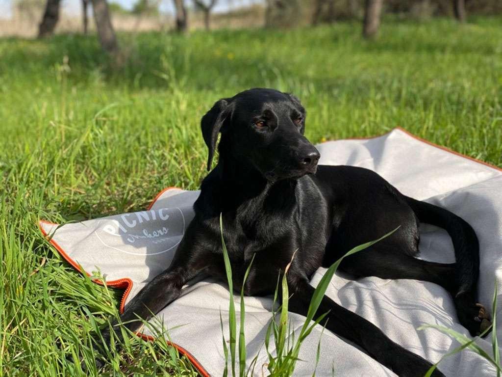 Hund auf Picknickdecke s